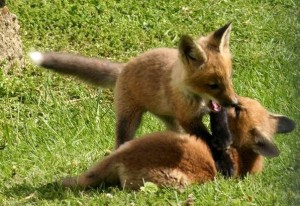 Foxes playing Licking County Sring 2012